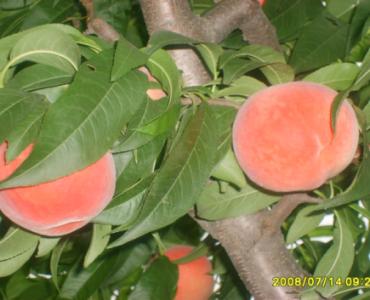 天工神露桃树使用效果照