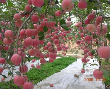 甘肃庆阳苹果示范