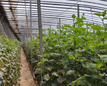 绿之然® —1.5%苦参∙蛇床素水剂 防治黄瓜霜霉病效果图